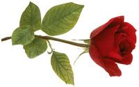 redrose.jpg