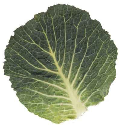 cabbage_leaf.jpg